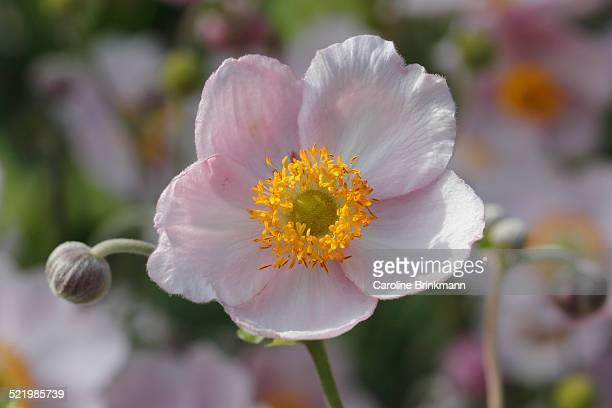Chinese anemone -Anemone hupehensis-