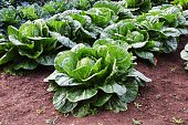 Winter vegetable / Chinese cabbage cultivation