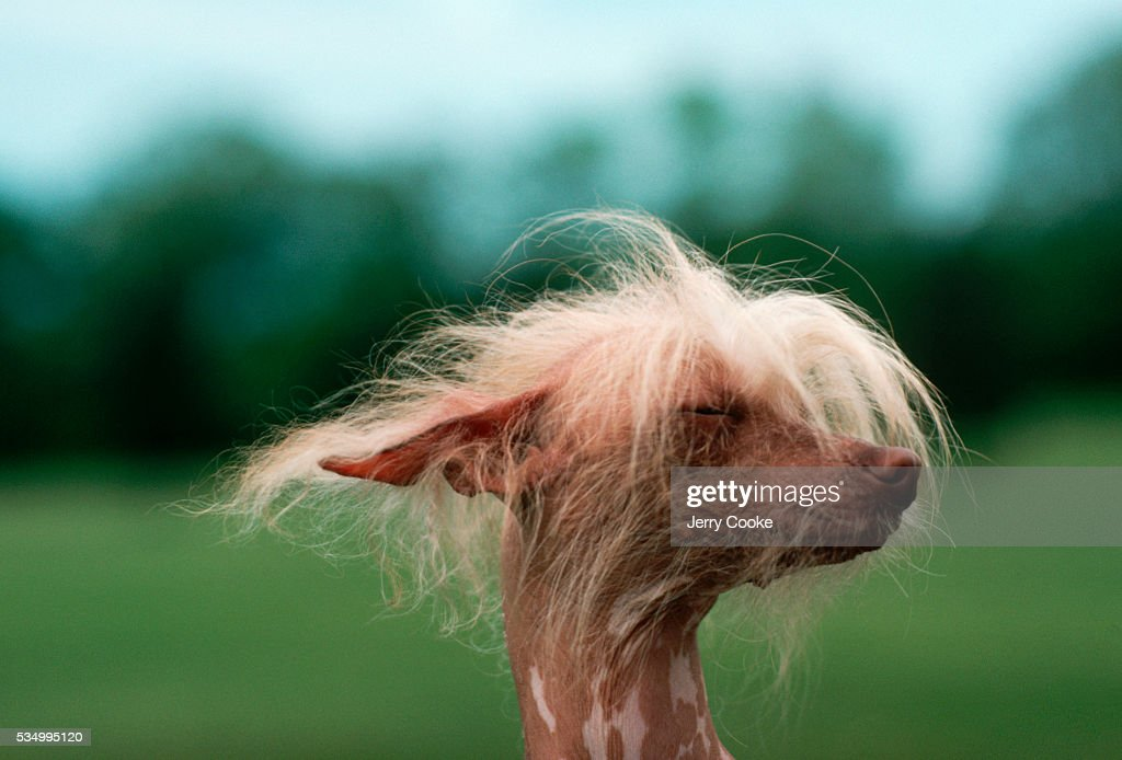 Chinese Crested Dog at Dog Show