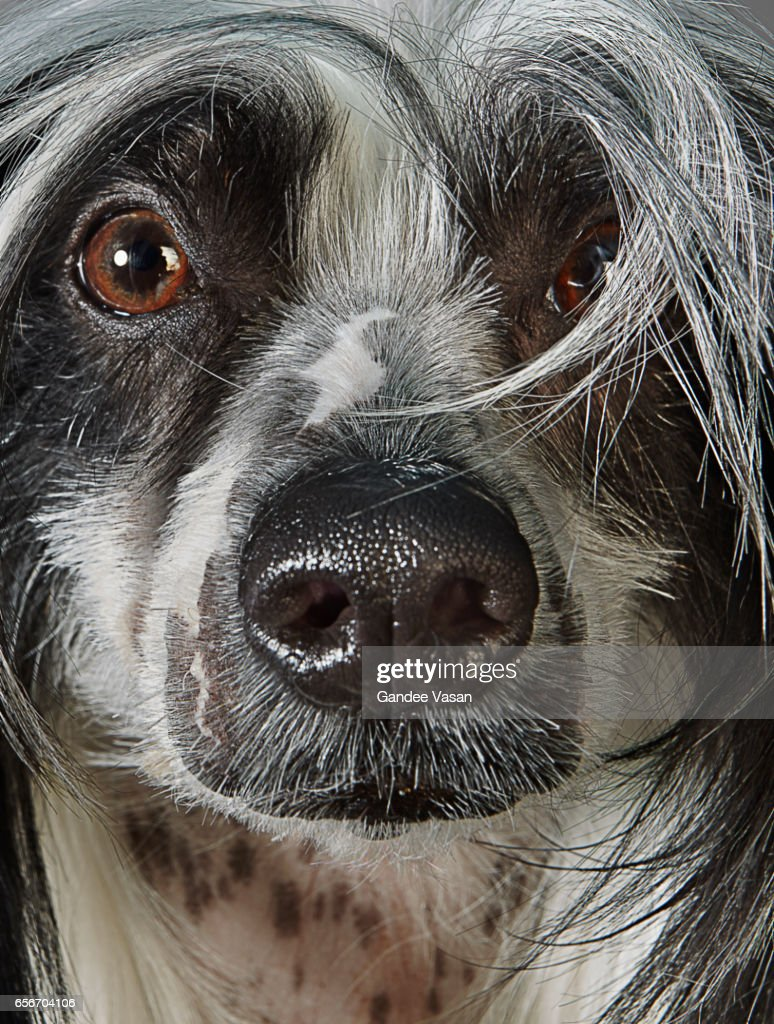 Chinese Crested Dog Closeup : Stock Photo