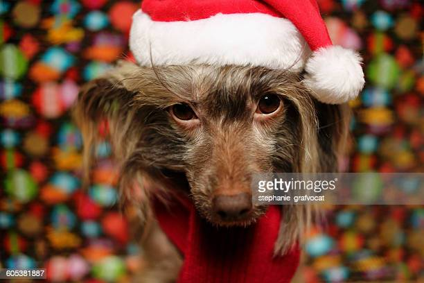 Chinese Crested dog dressed in Christmas hat and scarf
