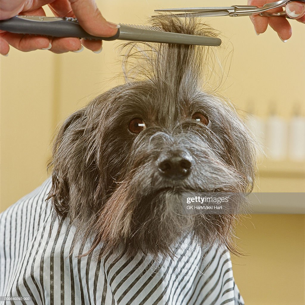 Chinese crested dog getting haircut : Stock Photo