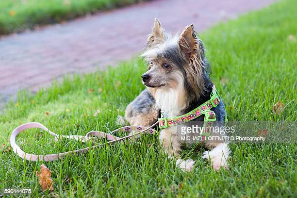 Chinese Crested Dog Laying in the Grass