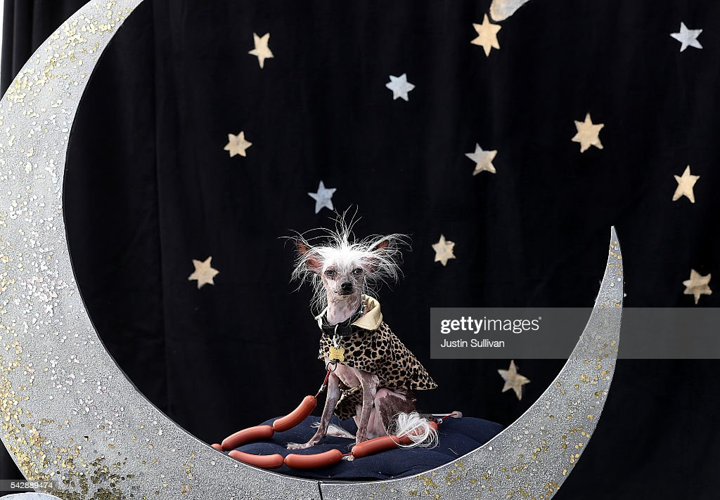 Chinese Crested dog named Rascal Deux of Sunnyvale California looks on during the 2016 World's Ugliest Dog contest at the SonomaMarin Fair on June 24...
