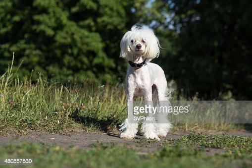 Chinese Crested Dog. : Stock Photo