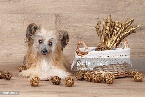 Chinese crested dog : Stock Photo
