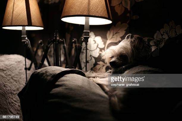 Chinese Crested dog sleeping on couch