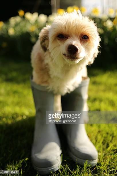 Chinese crested dog wearing wellington boots
