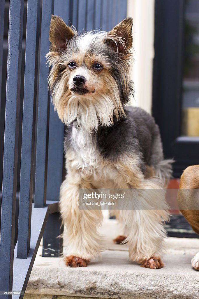 Chinese Crested Powder Puff Dog : Stock Photo