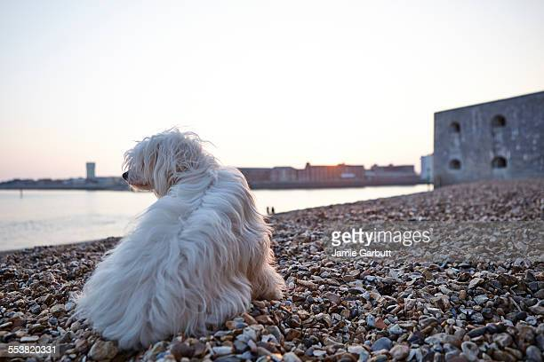 Chinese crested powderpuff puppy on the beach