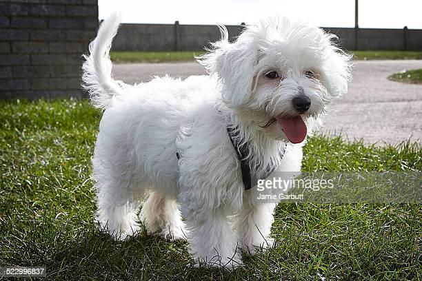 Chinese crested powderpuff puppy