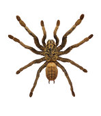 Chinese Earth Tiger Tarantula Spider