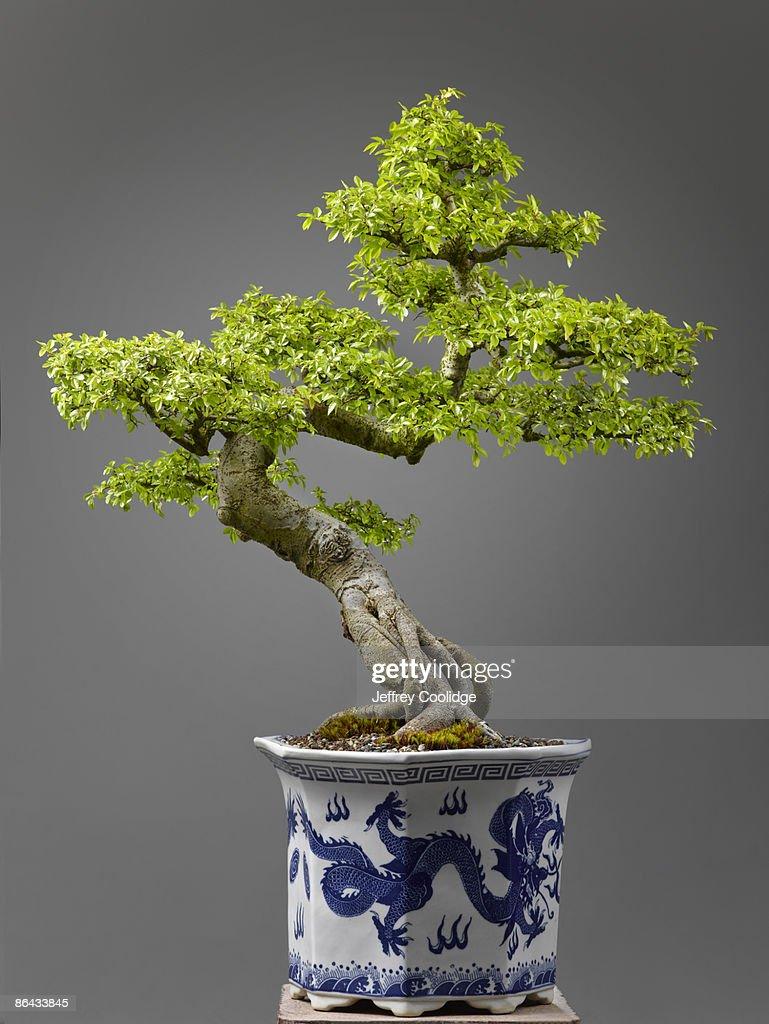 Chinese Elm Bonsai : Stock Photo