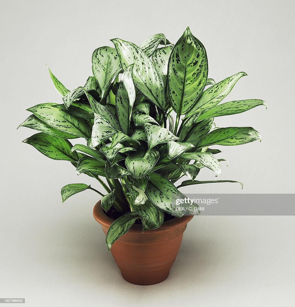 Chinese evergreen (Aglaonema Silver Queen), Araceae.