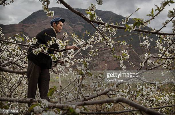 Chinese farmer climbs in a pear tree as he pollinates the flowers by hand at a farm on March 26 2016 in Hanyuan County Sichuan province China Heavy...