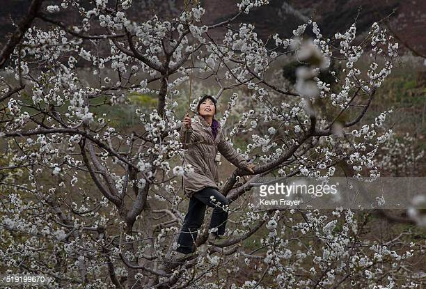 Chinese farmer climbs in a pear tree as she pollinates the flowers by hand at a farm on March 26 2016 in Hanyuan County Sichuan province China Heavy...