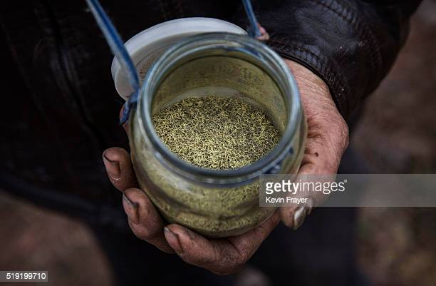 Chinese farmer displays the pollen used to pollinate pear trees by hand on March 25 2016 in Hanyuan County Sichuan province China Heavy pesticide use...