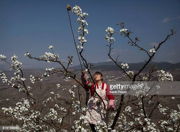 Chinese farmer He Meixia pollinates a pear tree by hand on March 25 2016 in Hanyuan County Sichuan province China Heavy pesticide use on fruit trees...