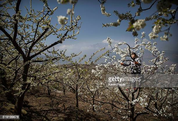 Chinese farmer pollinates a pear tree by hand on March 25 2016 in Hanyuan County Sichuan province China Heavy pesticide use on fruit trees in the...