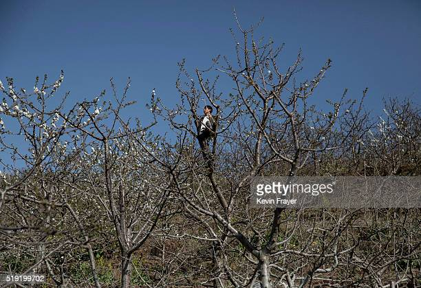 Chinese farmer pollinates pear trees by hand on March 25 2016 in Hanyuan County Sichuan province China Heavy pesticide use on fruit trees in the area...