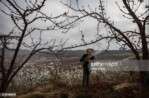 Chinese farmer spays pesticide on an apple tree on March 25 2016 in Hanyuan County Sichuan province China Heavy pesticide use on fruit trees in the...
