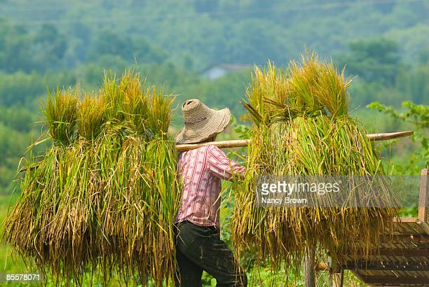 Chinese Farmer Working in Rice Harvest in Yangshuo