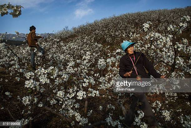 Chinese farmers pollinate pear trees by hand on March 25 2016 in Hanyuan County Sichuan province China Heavy pesticide use on fruit trees in the area...