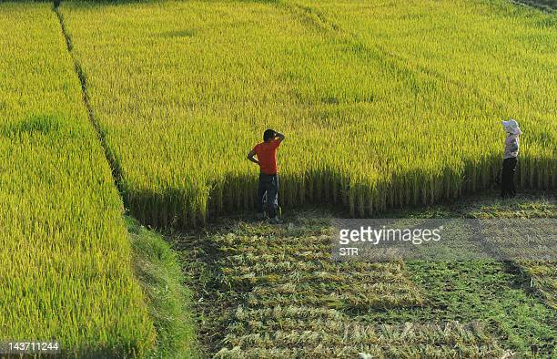 Chinese farmers watch over their field during harvesting in Hefei east China's Anhui province on October 27 2011 Chinese experts said at least 40...