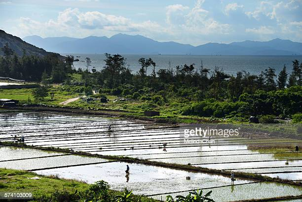 Chinese farmers working on paddy field