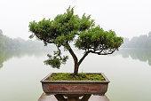 Chinese green bonsai tree..