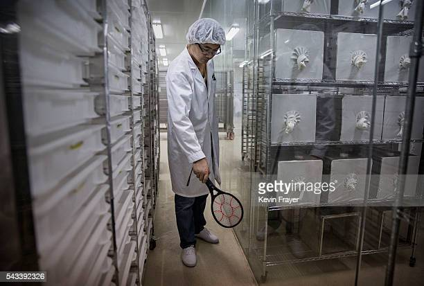 Chinese lab engineer uses an electric racquet used to kill stray mosquitos in the Mass Production Facility at the Sun YatSen UniversityMichigan...