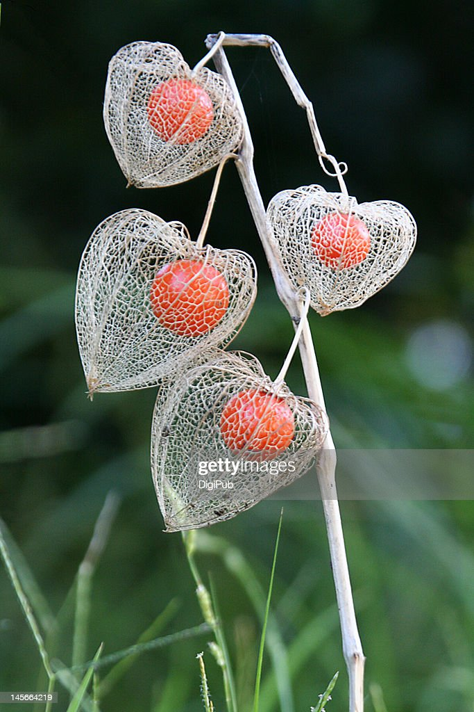 Chinese lantern plant in field : Stock Photo