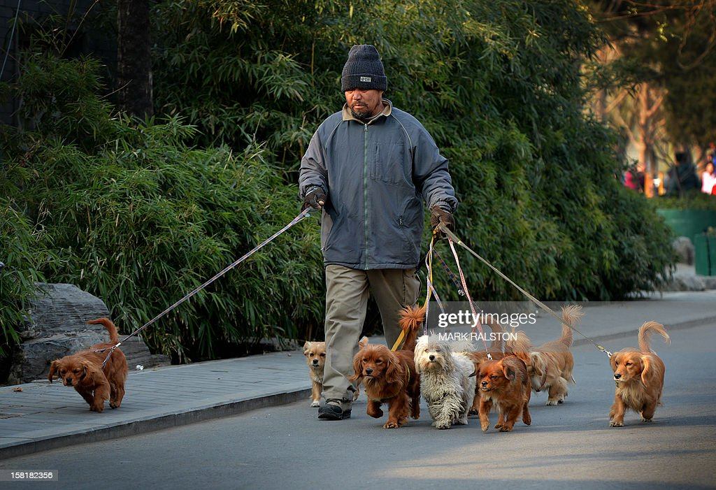A Chinese man who supplements his income by walking dogs around the Houhai Lake area of Beijing on December 11, 2012. Dog ownership is popular amongst China's elderly and the growing middle class but Beijing owners cannot keep dogs taller than 36 centimeters. AFP PHOTO/Mark RALSTON