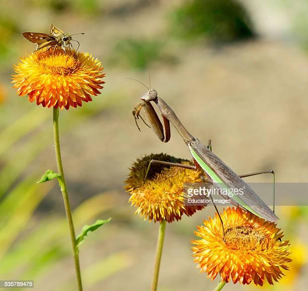 Chinese Mantis Waits to Ambush Skipper Butterfly