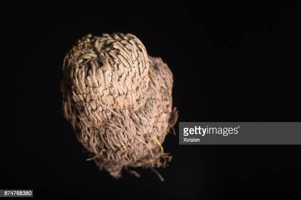 Chinese medicine herb Selaginella tamariscina(Beauv.)Spring with black background studio shot