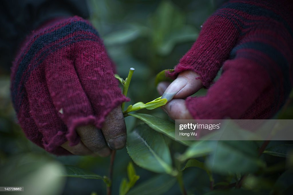 A Chinese migrant worker plucks Longjing tea leaves at the Longjing Village on March 31, 2012 in Hangzhou, China. Longjing is a green-tea, often called Dragon Well tea. The tea is typically picked by hand, and is of a high quality, earning the title of China Famous Tea. The Longjing tea begins to pluck before Chinese traditional Qingming Festival, the 15th day from the Spring Equinox or usually occurring around April 5. Many Chinese migrant workers from Jiangsu, Anhui, Jiangxi and other neighboring provices have been employed with 80 RMB yuan(US$12.68) to 120 RMB yuan(US$ 19.03) per day to pluck fresh Longjing tea leaves for villagers in many Longjing tea production villages in the outskirts of Hangzhou. The price of Longjing tea rose in recent years which aims to become to luxury goods. A high-end Longjing tea in Hangzhou sold for 50,000 RMB yuan(US$ 7930) half a kilo in 2012, the price rose 70 times in the last 12 years.