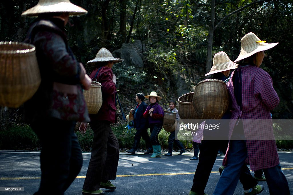 Chinese migrant workers carry their baskets filling Longjing tea leaves after they plucked at the Longjing Village on March 31, 2012 in Hangzhou, China. Longjing is a green-tea, often called Dragon Well tea. The tea is typically picked by hand, and is of a high quality, earning the title of China Famous Tea. The Longjing tea begins to pluck before Chinese traditional Qingming Festival, the 15th day from the Spring Equinox or usually occurring around April 5. Many Chinese migrant workers from Jiangsu, Anhui, Jiangxi and other neighboring provices have been employed with 80 RMB yuan(US$12.68) to 120 RMB yuan(US$ 19.03) per day to pluck fresh Longjing tea leaves for villagers in many Longjing tea production villages in the outskirts of Hangzhou. The price of Longjing tea rose in recent years which aims to become to luxury goods. A high-end Longjing tea in Hangzhou sold for 50,000 RMB yuan(US$ 7930) half a kilo in 2012, the price rose 70 times in the last 12 years.