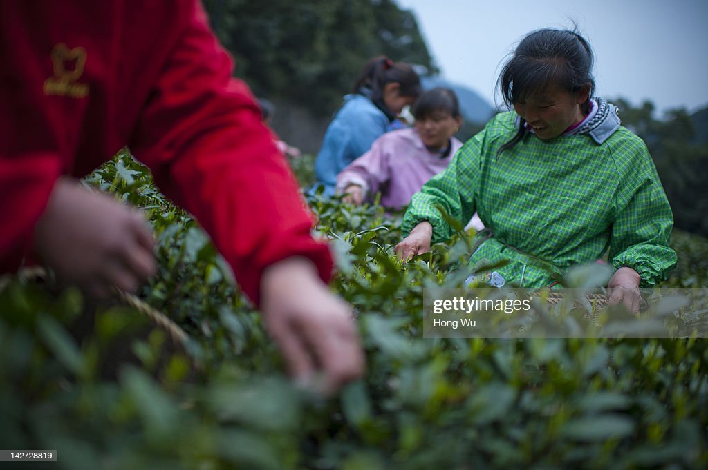 Chinese migrant workers pluck Longjing tea leaves at Meijiawu Village on March 29, 2012 in Hangzhou, China. Longjing is a green-tea, often called Dragon Well tea. The tea is typically picked by hand, and is of a high quality, earning the title of China Famous Tea. The Longjing tea begins to pluck before Chinese traditional Qingming Festival, the 15th day from the Spring Equinox or usually occurring around April 5. Many Chinese migrant workers from Jiangsu, Anhui, Jiangxi and other neighboring provices have been employed with 80 RMB yuan(US$12.68) to 120 RMB yuan(US$ 19.03) per day to pluck fresh Longjing tea leaves for villagers in many Longjing tea production villages in the outskirts of Hangzhou. The price of Longjing tea rose in recent years which aims to become to luxury goods. A high-end Longjing tea in Hangzhou sold for 50,000 RMB yuan(US$ 7930) half a kilo in 2012, the price rose 70 times in the last 12 years.