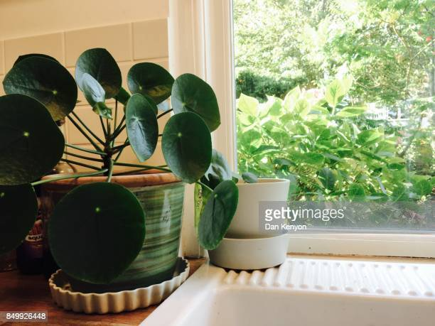Chinese money plant in kitchen by sink
