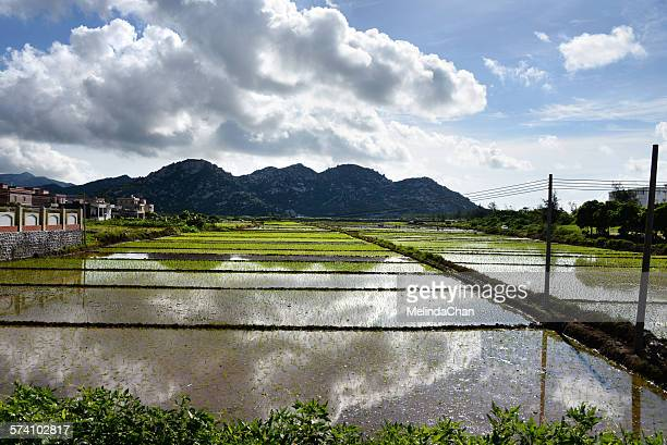Chinese  paddy field with reflection