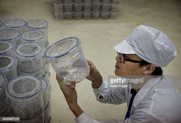 Chinese Phd student and researcher Zhang Dongjing checks a container with adult mosquitos that will be released into the wild in the Mass Production...