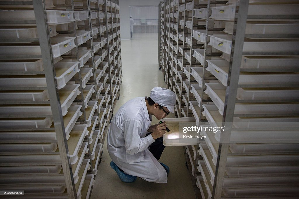 Chinese Phd student and researcher Zhang Dongjing checks trays of mosquito larvae in the Mass Production Facility at the Sun YatSen...