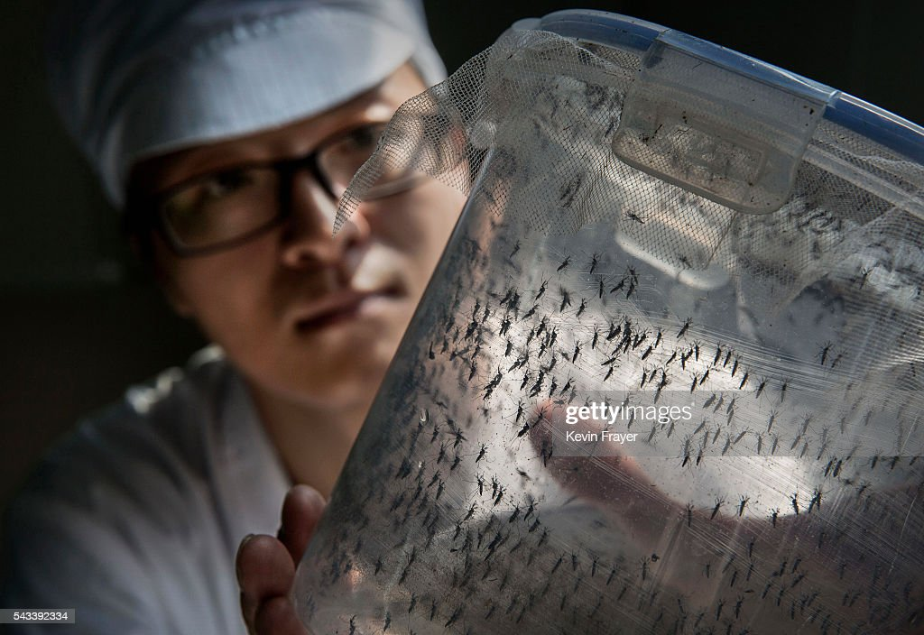 Chinese Phd student and researcher Zhang Dongjing displays a container of sterile adult male mosquitos that are ready to be released in a lab in the...
