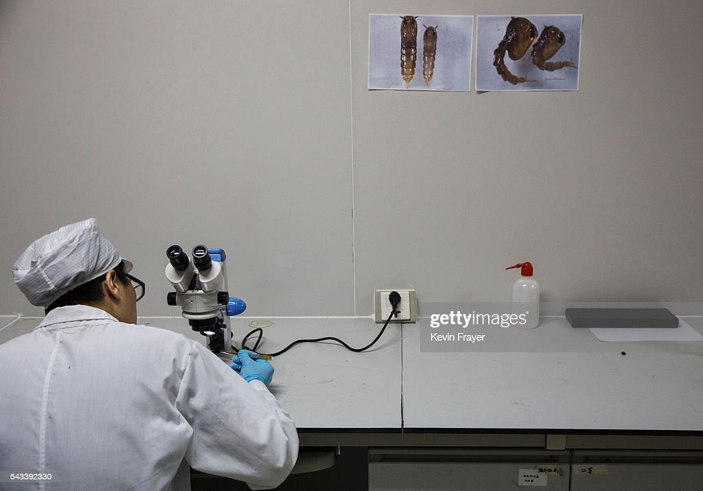 Chinese Phd student and researcher Zhang Dongjing looks at adult mosquitos under a microscope in the lab at the Sun YatSen UniversityMichigan...
