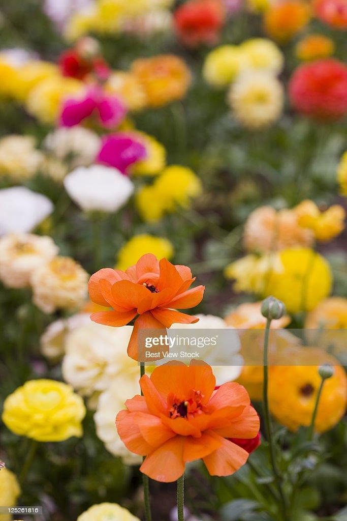 Chinese rose : Stock Photo