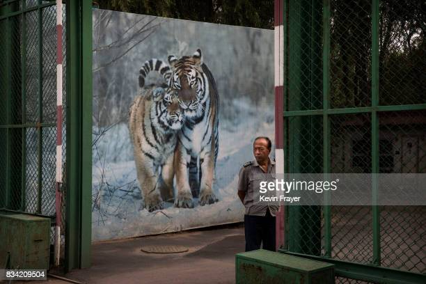 A Chinese security guard stand in front of a billboard showing Siberian tigers at the Heilongjiang Siberian Tiger Park on August 16 2017 in Harbin...