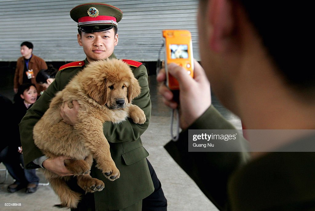 A Chinese soldier poses a photo with a Tibetan Mastiff at a Tibetan Mastiff exposition on February 27, 2005 in Longfang, some 100 kilometers southeast of Beijing, China. The Tibetan Mastiff is a large breed of guard dog from the Himalayas. Bred to guard monasteries, villages, nomadic camps and livestock herds, it is very renowned for its loyalty and territorial nature.