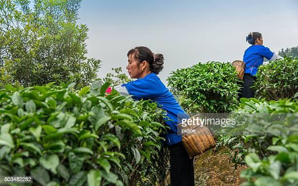 Chinese tea picker working