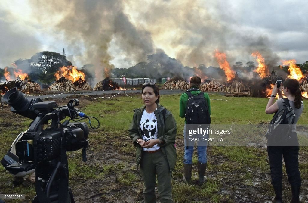 A Chinese television reporter stands in front of eleven burning stacks of ivory and rhinoceros horns at the Nairobi National Park on April 30, 2016. Kenyan President Uhuru Kenyatta set fire on April 30, 2016, to the world's biggest ivory bonfire, after demanding a total ban on trade in tusks and horns to end 'murderous' trafficking and prevent the extinction of elephants in the wild. / AFP / CARL
