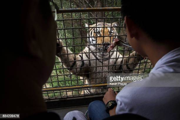 A Chinese tourist dangles a piece of raw meat in front of a Siberian tiger as they ride in a bus at the Heilongjiang Siberian Tiger Park on August 16...